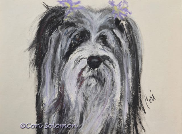 Tibetan Terrier: Sydney – For Sale
