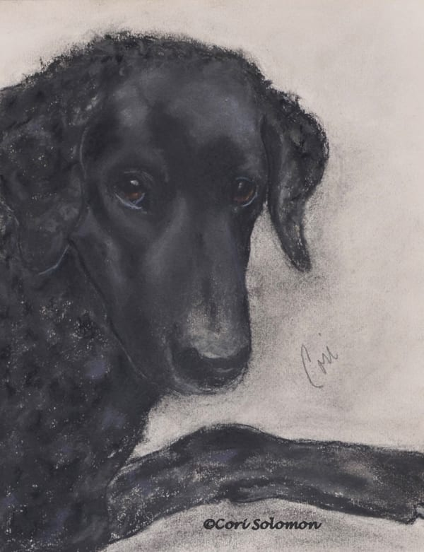 Ozzy Curly Coated Retriever